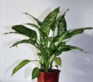 Le dieffenbachia centre antipoison animal et for Plante toxique chat