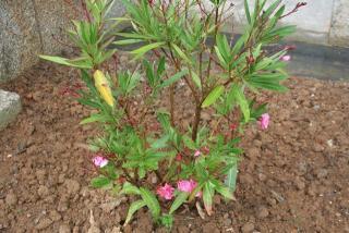 Le laurier rose centre antipoison animal et environnemental de l 39 ouest - Feuilles jaunes laurier rose ...